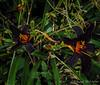 Purple-black daylily, W side of GH path