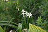 Crinum, 2nd library terrace