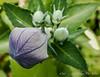 Platycodon, balloon flower, toraji