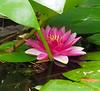 Waterlily, S pool