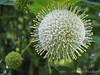 """Cephalanthus-- """"sputnik flower""""- SW corner of Crater"""