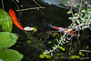 Goldfish and water strider, S pond