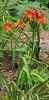 Small, almost mini, daylily, Hesperides terraces