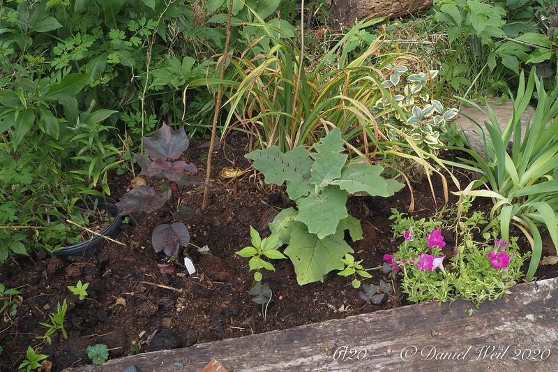 Seedling touch me not, varieg, cotton (purple), Solanum quitoense, petunia, daylily lvs, Oxalis (purple), varieg. Elaeagnus.