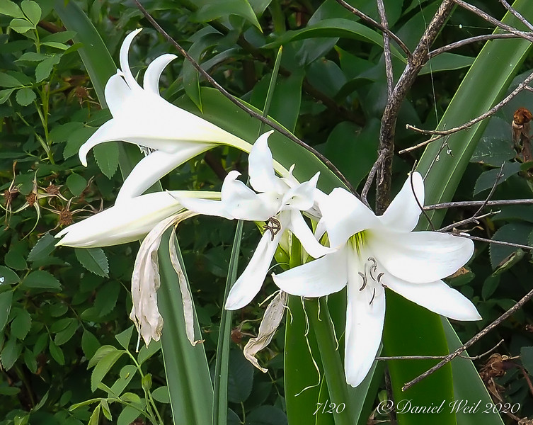 Crinum ex Pete J, library stairs