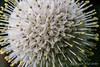 Cephalanthus
