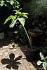 Giant Sauromatum ex Pam H, still in pot