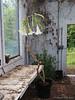 In greenhouse. Brugmansia