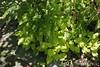 Hosta, maidenhair fern under Tai-haku, kitchen patio