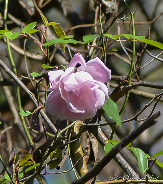 Roses up the magnolia 'Edith Bogue' still going strong