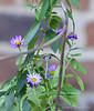 Aster ex plant exchange.  Courtyard.  It's too small to need a tomato cage, but it is in one to remind me in the Spring that it's not a weed.