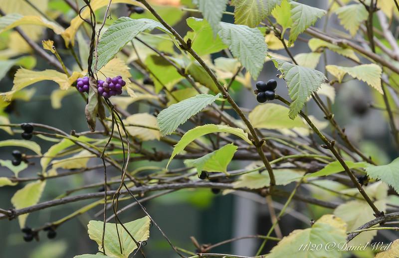 Beautyberry (Callicarpa) and jetbead shrub (Rhodotypos scandens)