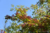 Toothache tree/prickly ash/Zanthoxylum americanum.