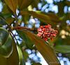 Cone of magnolia 'Edith Bogue'