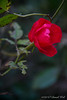 Rose in courtyard.  With luck it will bloom into December.