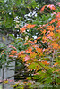 Japanese maple and white Callicarpa, S of small arbor
