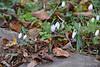 Galanthus elwesii v. monostictus ex Montrose, 11/12/20
