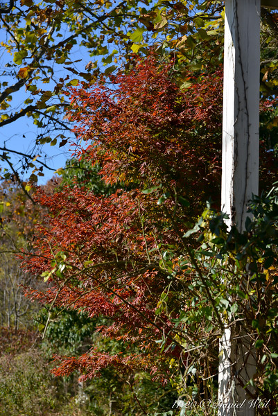 Japanese maple just W of large arbor; foreground is rose 'Red Eden' that desperately needs tying up.