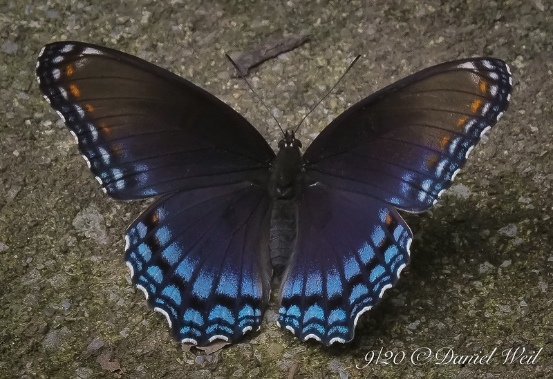 Red Spotted Purple butterfly resting on ever-so-artistic concrete.