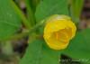Sternbergia lutea, N walk