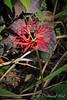 Lycoris radiata ex B. D.