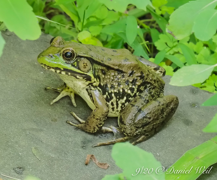 Green, green, I'm goin' away to where the frogs are gr-reener still.....