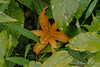 Autumn blooming Hemerocallis fulva, Hesperides