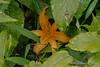 Autumn blooming Hemerocallis fulva, Hesperides