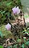 Cyclamen hederifolium ex Gettysburg Gardens