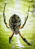 Golden orb spider.  By the first frost they will be HUGE......