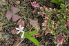Madonna lily sprouting, Oxalis flower, coleus, E of small arbor