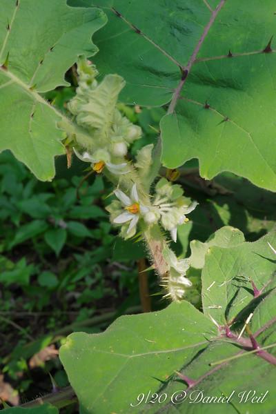 Solanum flowers....