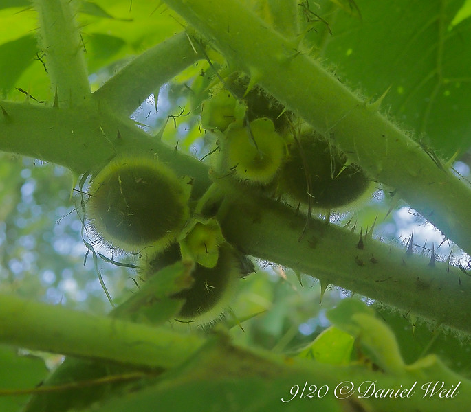 Solanum fruit...