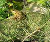 Frog, pining away