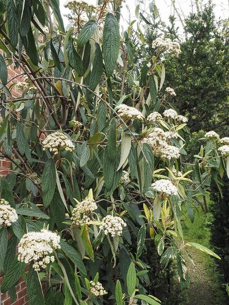 Varieg. leather leaf viburnum
