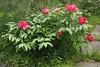 Tree peony, ex Gordon H, N side of North Forty bed