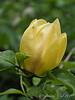 Yellow magnolia, hellebore alley
