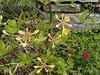 "Gold azalea, ""annual"" dianthus, NW of garage"
