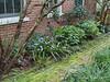 NE of guest room, Iris japonica, Deinanthe, camellias