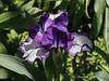 Med-tall iris, courtyard