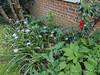 Iris japonica, Arum italicum, Deinanthe, camellia, N of guest room