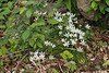 The incredibly rare and difficult Ornithogalum umbellatum