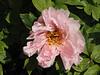 Tree peony, courtyard, ex Norman Brown