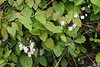 Neighbor's white epimedium
