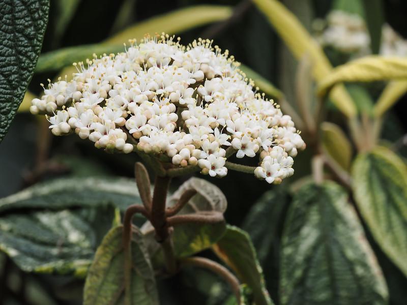 Varieg leather leaf viburnum