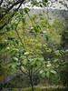 Prunus virginiana 'Shubert' ex Steve S.  US 340 bed.