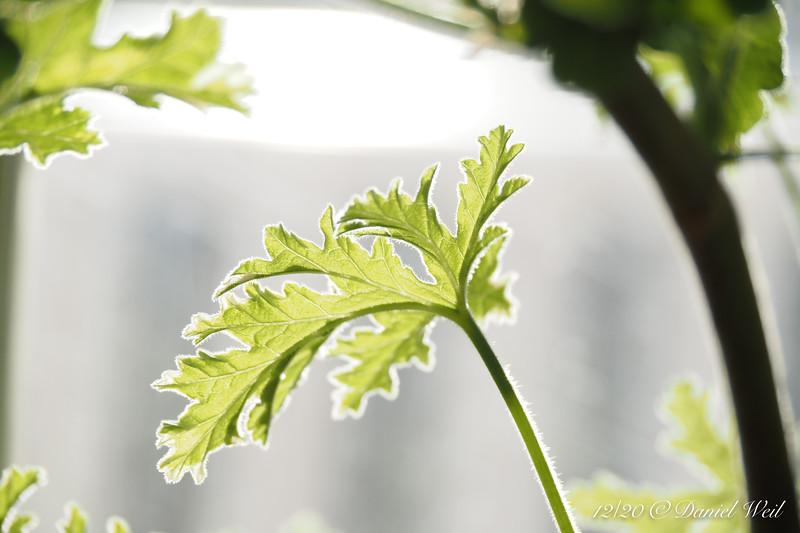 Scented geranium leaf