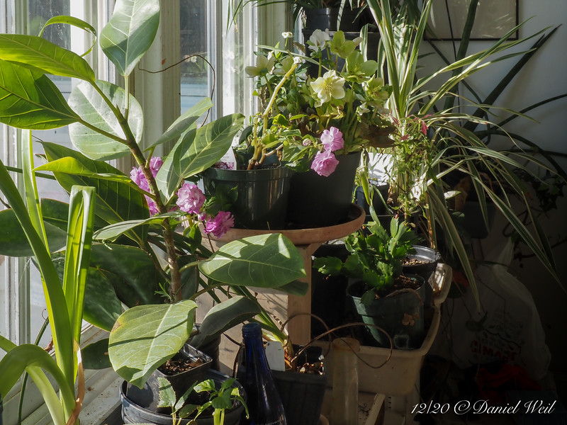 Rose flowered impatiens.  Flowers MUCH bigger in a cool room than outside in the summer....