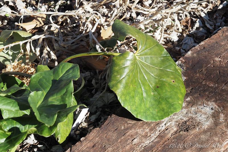 Ligularia ex. Pam Harper