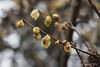 Golden Chimonanthus in front of g'house